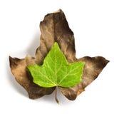 Den gröna leafen med vatten tappar på en dryed leaf Royaltyfri Bild