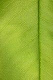 Den gröna leafen texturerar Arkivfoton