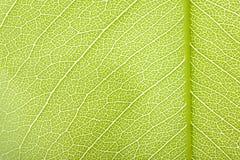 Den gröna leafen texturerar Royaltyfri Foto