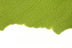 Den gröna leafen texturerar Royaltyfri Fotografi