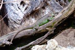 Den gröna leguanen vilar på trä Arkivbild
