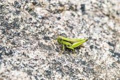 Den gröna lilla gräshoppan är på ett naturligt vaggar Fotografering för Bildbyråer