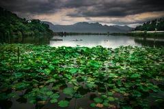 Den gröna lotusblomman Fotografering för Bildbyråer