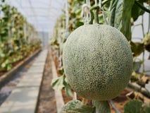 Den gröna melon i lantgården royaltyfri bild