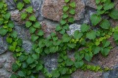 Den gröna murgrönalianen klättrar på bakgrund för tegelstenvägg Arkivfoton