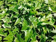 Den gröna murgrönan lämnar bakgrund Arkivfoto