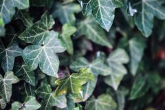 Den gröna murgrönan lämnar närbild Royaltyfri Bild
