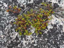 Den gröna och röda suckulenten på vit granit vaggar Arkivfoto