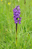 den gröna orchiden påskyndade Arkivbilder