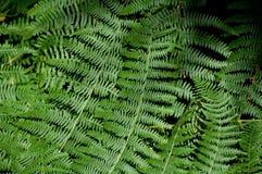Den gröna ormbunken lämnar bakgrund Royaltyfri Fotografi