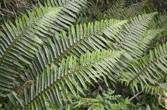 Den gröna ormbunken lämnar bakgrund Royaltyfri Bild