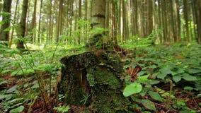 Den gröna ormbunken som växer ut ur mossa, täckte trädstubben lager videofilmer
