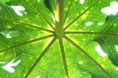 Den gröna papayaen lämnar modeller med reflexion från solen på himmelbakgrund fotografering för bildbyråer