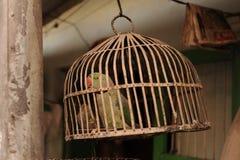 Den gröna papegojan är i buren royaltyfri fotografi