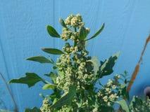 Den gröna quinoaen växer i Augusti royaltyfria bilder