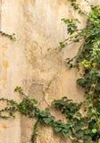 Den gröna rankaväxten på den gamla husväggen Arkivfoto