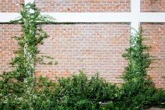 Den gröna rankaväxten på en tegelstenvägg Arkivbild