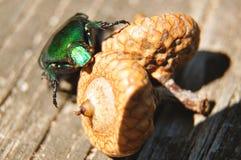 Den gröna skalbaggen sitter på ekollonen Royaltyfri Bild