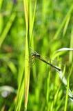 Den gröna sländan klamra sig fast intill ett grässtrå Arkivfoton