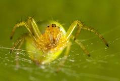 Den gröna spindeln Arkivfoton