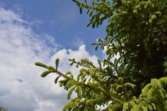Den gröna sprucen förgrena sig Royaltyfria Foton
