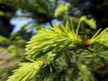 den gröna sprucen fattar Royaltyfria Bilder