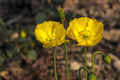 Den gröna stammen slår ut och två blomma gula Island vallmo royaltyfria bilder