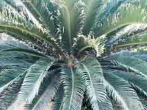 Den gröna stora härliga exotiska sopa päls- tropiska tropiska öknen gömma i handflatan, planterar ormbunken med enorma sned långa Royaltyfri Foto