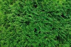 Den gröna thujaen lämnar bakgrund, vinterträdet och julträdet Co Arkivbilder
