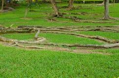 Den gröna trädgården och trädet rotar Arkivfoton