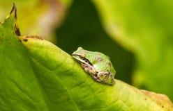Den gröna trädgrodan vilar på ett blad i trädgård Royaltyfria Foton