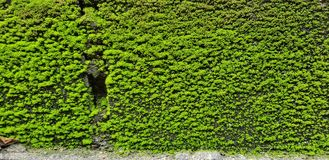 Den gröna väggen royaltyfria bilder