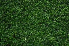 Den gröna väggen Arkivfoto