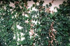 Den gröna väggen Royaltyfri Fotografi