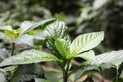 Den gröna växten royaltyfri bild