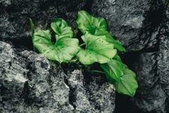 Den gröna växten med vaggar svart Arkivbild