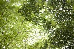 Den gröna våren lämnar bakgrund Royaltyfria Foton