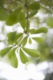 Den gröna våren lämnar bakgrund Royaltyfri Fotografi