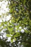 Den gröna våren lämnar bakgrund Arkivfoton