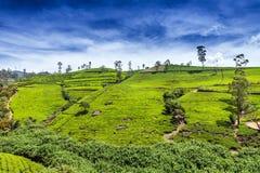 Den grönt teaknoppen och nytt lämnar Fält för tekolonier i Nuwara Eliya, Sri Lanka Arkivfoto