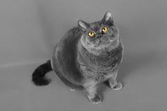 Den Gray British katten sitter och ser upp Royaltyfri Bild