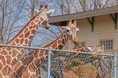 Den Great Plains zoo i Sioux Falls, South Dakota är en familj fr arkivfoto
