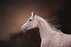 Den Grey Arabian Horse ståenden Royaltyfri Bild