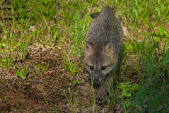 Den Grey Fox Kit Urocyon cinereoargenteusen går framåtriktat Royaltyfria Foton