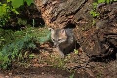 Den Grey Fox Kit Urocyon cinereoargenteusen kommer ut från under journalen Royaltyfri Bild