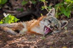 Den Grey Fox Urocyon cinereoargenteusargbiggan ligger på Densite Arkivfoto