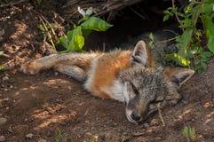 Den Grey Fox Urocyon cinereoargenteusargbiggan vilar utanför håla Arkivfoto