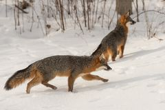 Den Grey Fox Urocyon cinereoargenteusen går rätt andra i Backg Arkivfoton