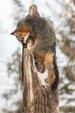 Den Grey Fox Urocyon cinereoargenteusen klättrar trädet Arkivfoton