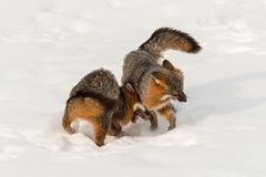Den Grey Fox Urocyon cinereoargenteusen kolliderar med annan Royaltyfri Bild